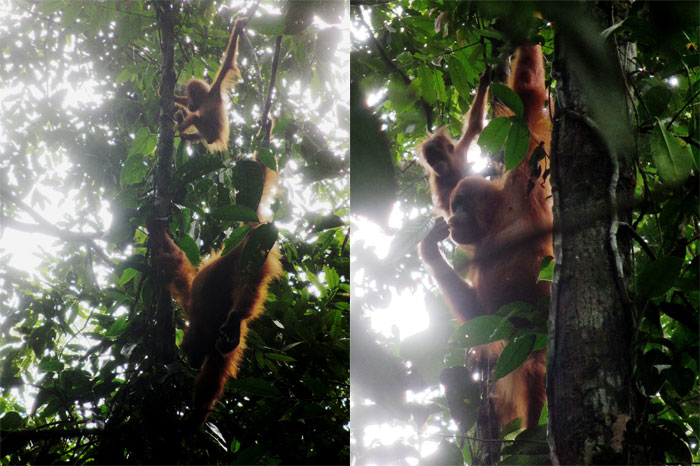 Orang Utans in Sumatra, Mutter mit Kind